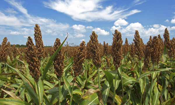 Sweet Sorghum: The Sweetest Fuel You'll Ever Taste!