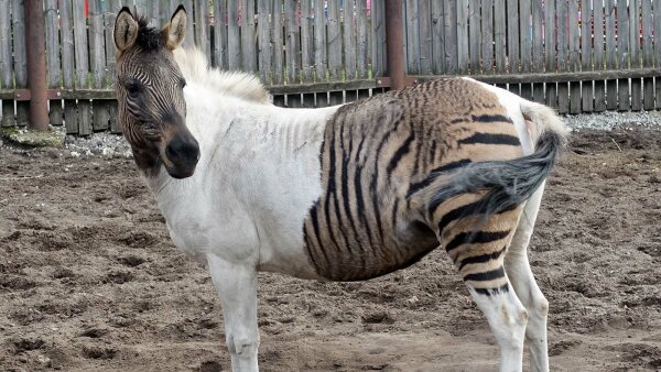 A Zorse Is a Horse, of Course, But It's Also a Zebra