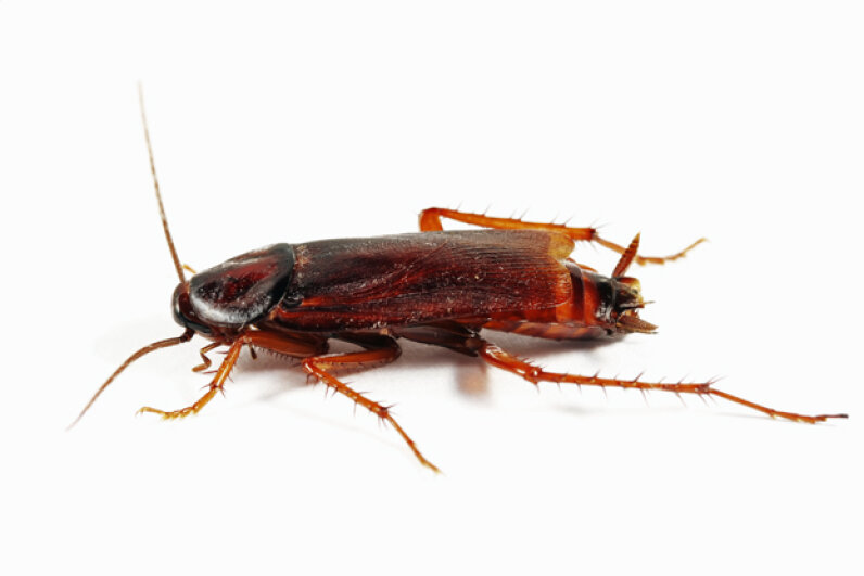 Although they may seem disgusting most of the time, cockroaches can be very helpful with a little help from some cybernetic implants. iStockphoto/Thinkstock