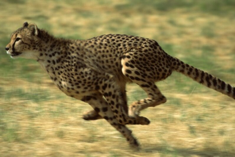 You didn't think you'd make it through this list without seeing a picture of a cheetah, did you? Photos.com/Thinkstock