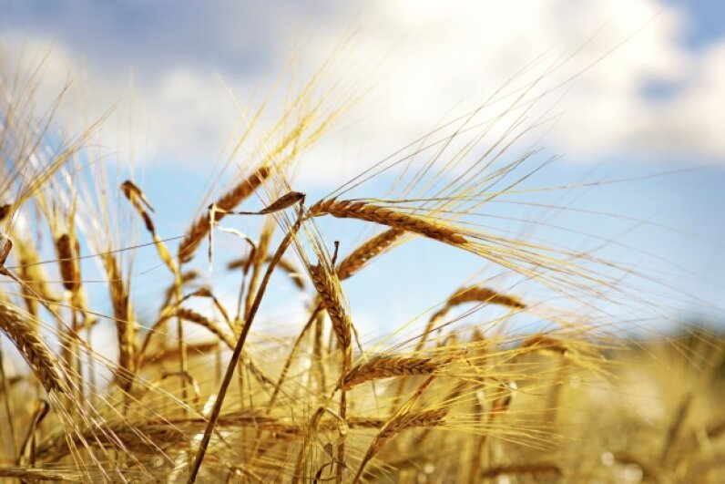 That crop of wheat is the result of a series of scientific and technical breakthroughs. iStock/Thinkstock