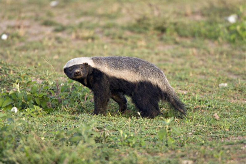 Look, that crazy honey badger can't surprise us anymore, but the other 10 animals on this list can (and do). Doug Cheeseman/Peter Arnold/Getty Images