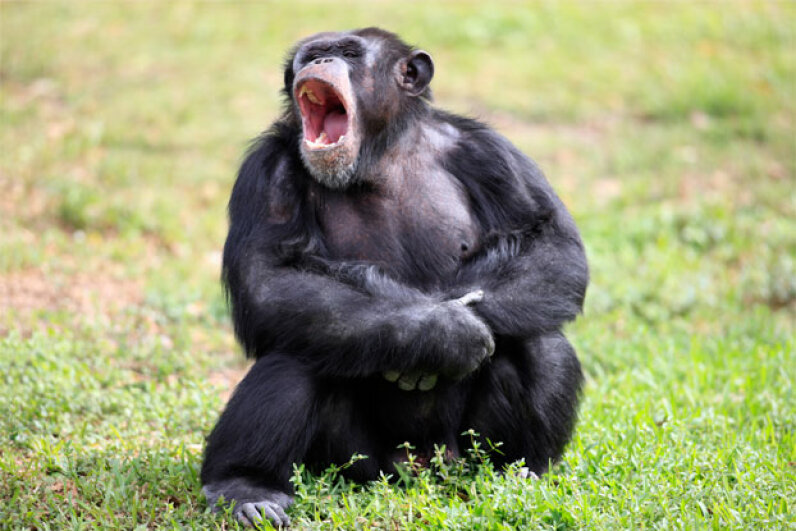 Just like humans, this chimp might be inclined to yawn if he saw a picture of a pal yawning. Tier Und Naturfotografie J und C Sohns/Photographer's Choice/Getty Images