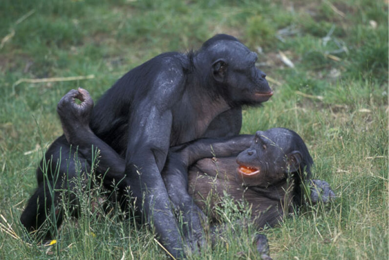 This pair of bonobos may be defusing a conflict right now! Martin Harvey/Peter Arnold/Getty Images