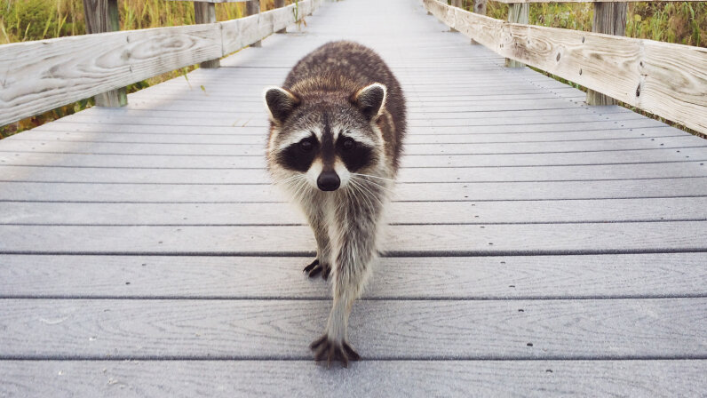 Raccoon out for a stroll
