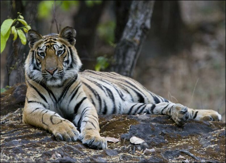 All about Tigers Thorsten Milse/Getty Images