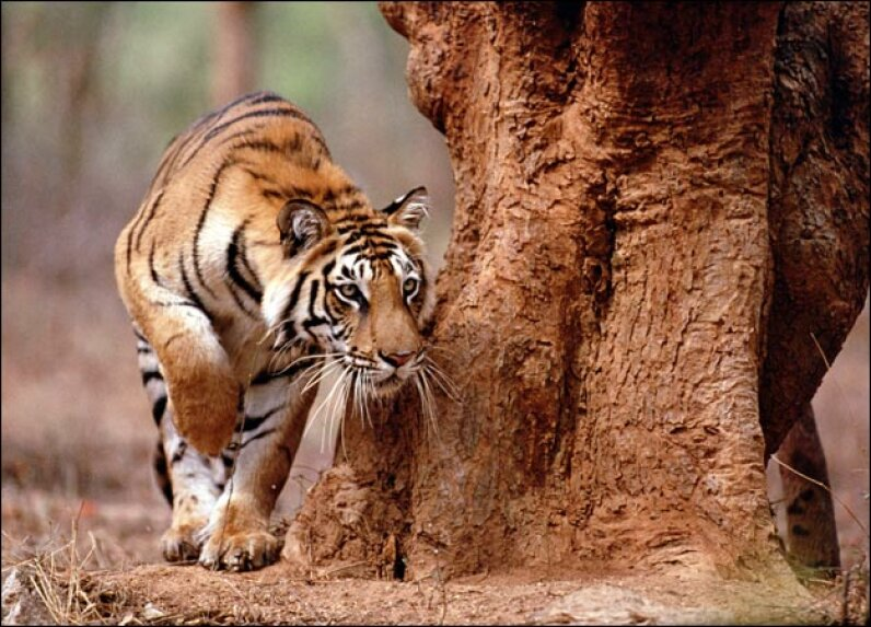 All about Tigers DCL | Anup Shah/Getty Images