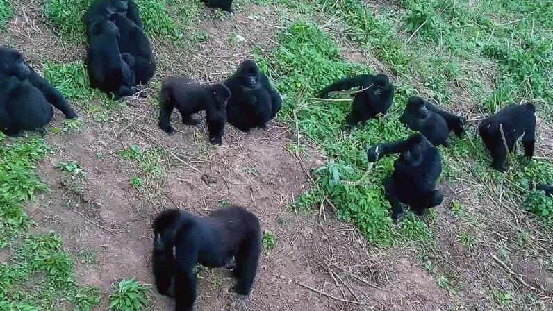 Grace gorillas