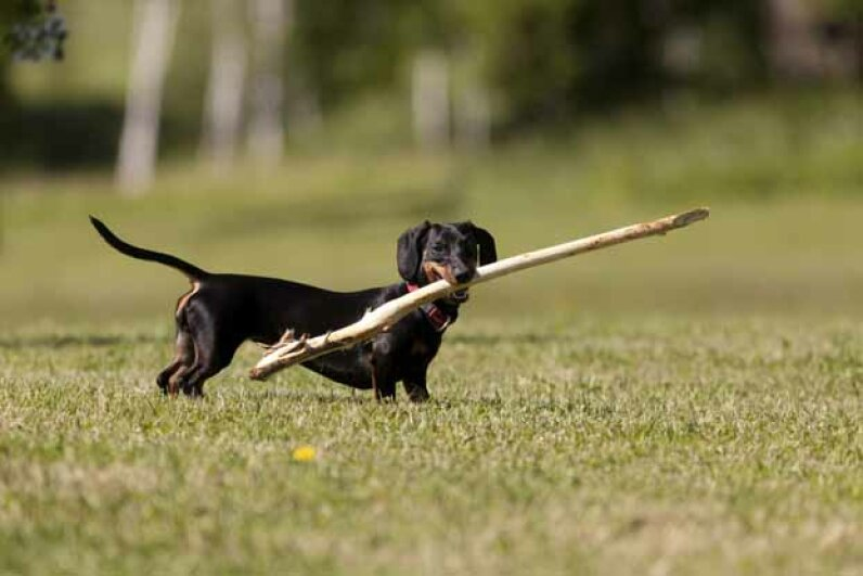 This little dachshund is actually more aggressive than a pit bull. iStockphoto/Thinkstock