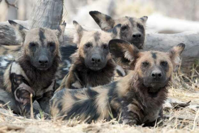 No canine is left behind when it comes to the African wild dog packs. They feed their young, sick and old. iStockphoto/Thinkstock