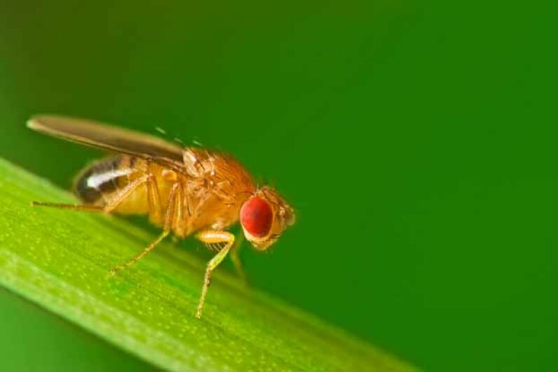 Strangely, this fruit fly (perched on a blade of grass) has sperm that is 1,000 times longer than a man's sperm. iStockphoto/Thinkstock