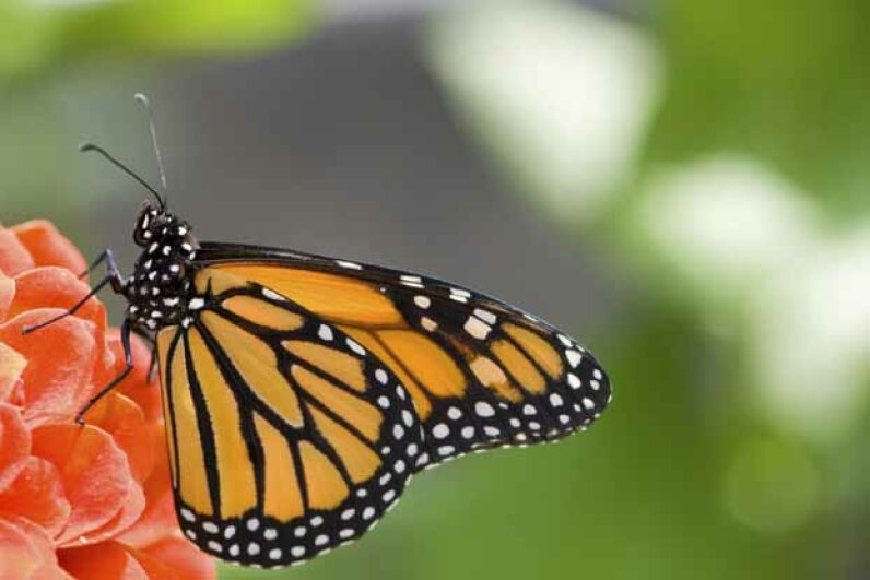 Butterflies use their feet to determine if the plant they have landed on is toxic. iStockphoto/Thinkstock