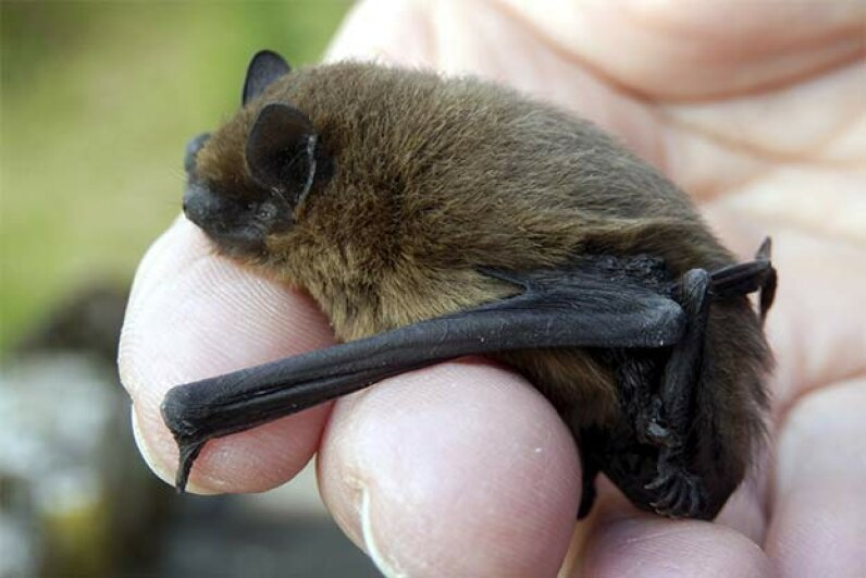 This bat actually looks cute -- and it won't attack your hair. PlazacCameraman/iStock/Thinkstock