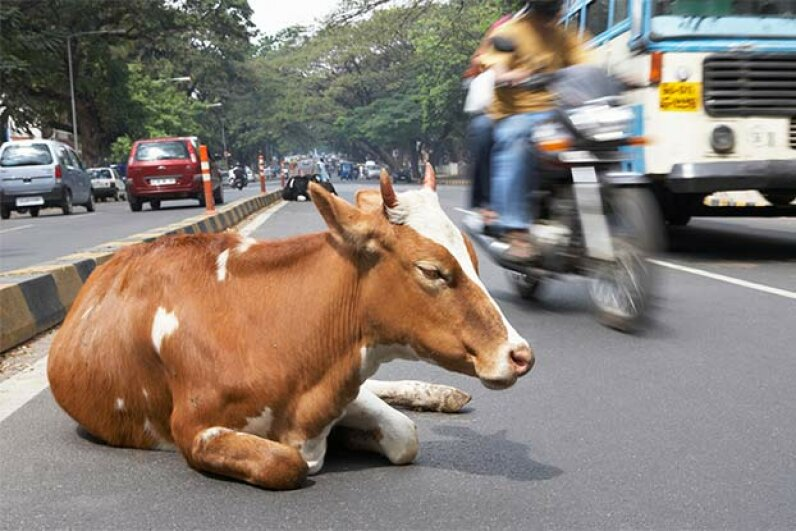 Smart or stupid? This cow disrupts traffic in Bangalore, India. Boris Breuer/Getty Images