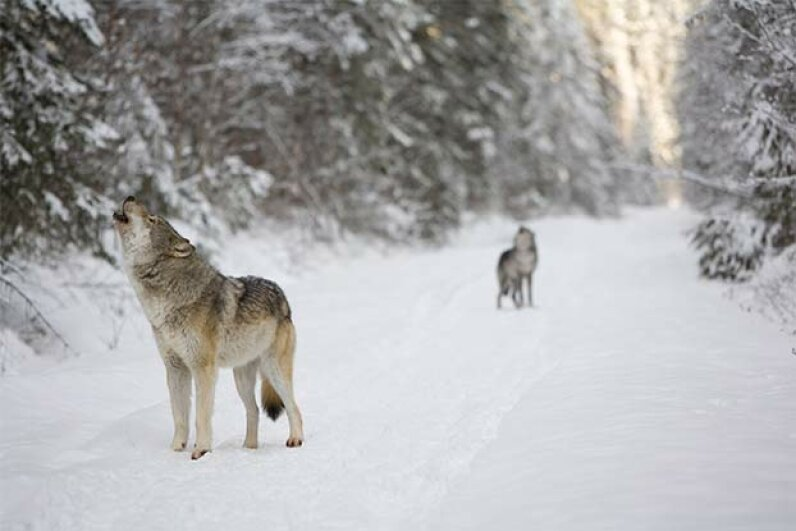 Wolves howl mainly because, well, they're wolves and that's how they communicate. But scientists also think air pressure from an approaching storm might cause them to howl in pain. Pierre Cardon/iStock/Thinkstock