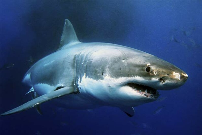 Oceanographers have tracked sharks diving to deeper waters before hurricanes. Whitpointer/iStock/Thinkstock