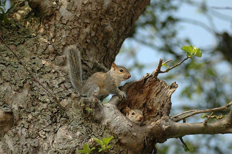 Two baby squirrels emerge from their nest. Does the nest location foretell the kind of winter we might have? Sally Newcomb/iStock/Thinkstock