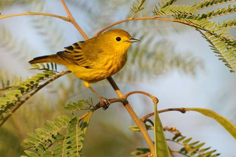 Scientists noticed that golden-winged warblers left town days before a tornado in Tennessee and returned afterwards. It could be they were able to hear the infrasound from the approaching storm system. Daniel Trim Photography/Getty Images