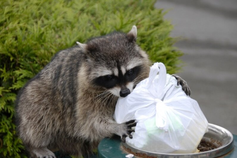 Raccoons are cute, but you don't want them hanging out around your house waiting for garbage treats. Consider bins with locking lids to keep wily visitors away from your trash.  ©iStockphoto/Thinkstock
