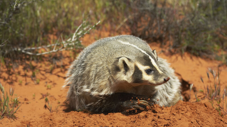 Badger digging