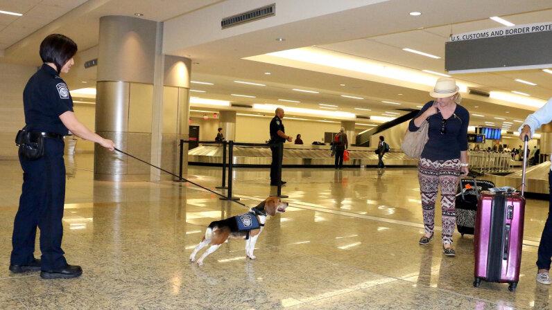 Beagle Brigade dog at work