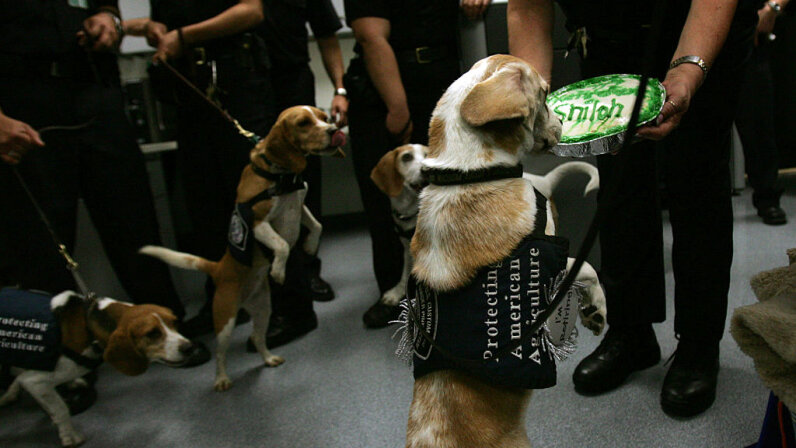 beagle brigade Shiloh retires