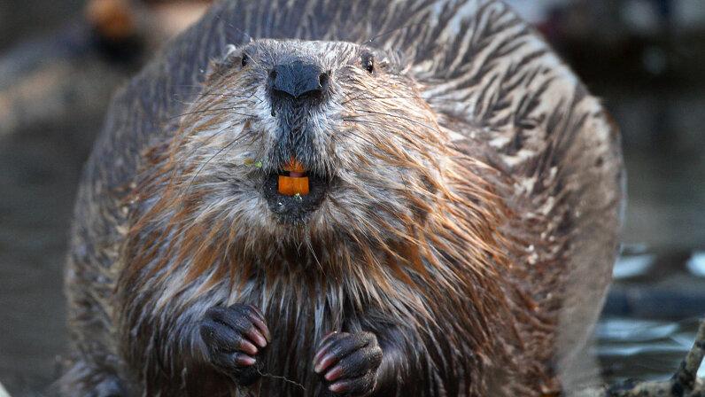 wild North American beaver shows off his orange teeth
