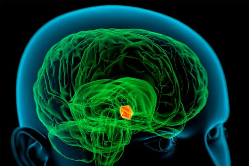 The highlighted area shows the hypothalamus, which plays a role in controlling body temperature, hunger, thirst, fatigue, and circadian cycles. ROGER HARRIS/SCIENCE PHOTO LIBRARY/Getty Images