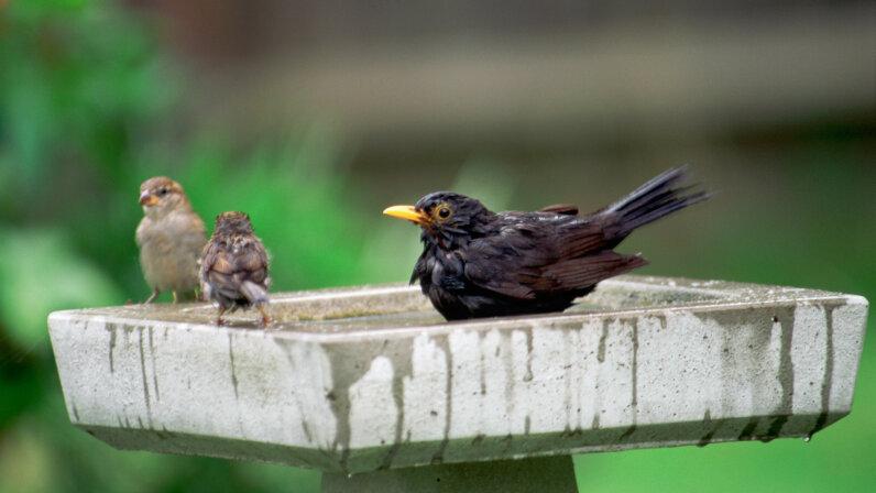 blackbird, sparrow, birdbath