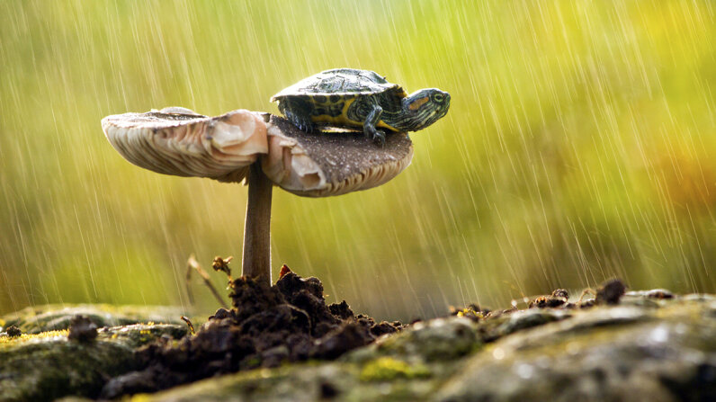 This little guy pictured is a red-eared slider (Trachemys scripta elegans), not a box turtle, which are members of the genus Terrapene, but the photo's pretty irresistible; seeing a turtle standing on a mushroom would be a rare thing indeed. But understanding the relationship between the two is important for anyone considering eating either.  Imran Kadir Photography/Getty Images