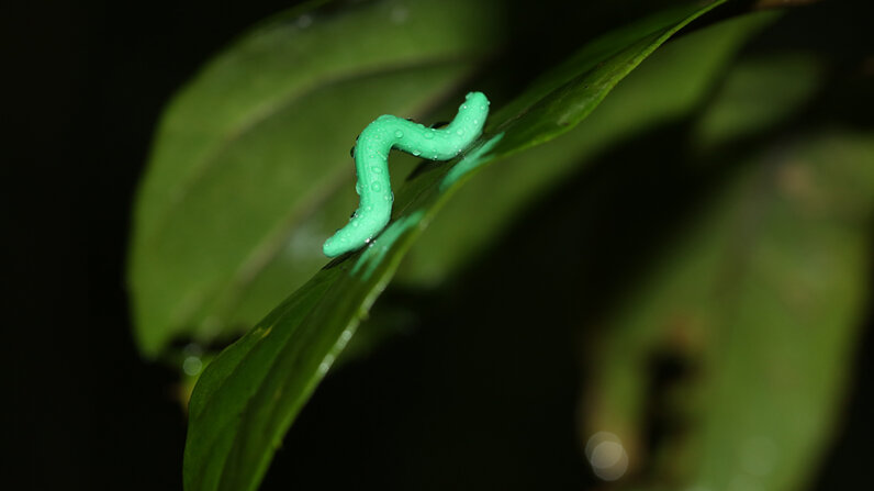A plasticine caterpillar glistens with moisture in the forest of Tai Po Kau, Hong Kong, during an experiment studying predator attacks. Chung Yun Tak