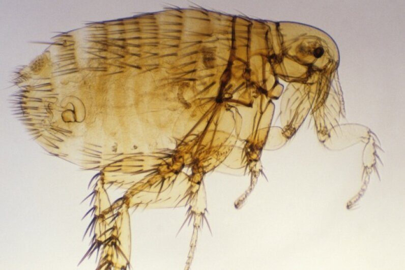 You're looking at the Oriental rat flea (Xenopsylla cheopsis), a primary vector for bubonic plague. © Dr. Robert Calentine/Visuals Unlimited/Corbis