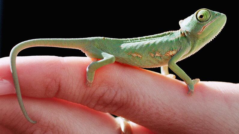 one-month-old veiled chameleon