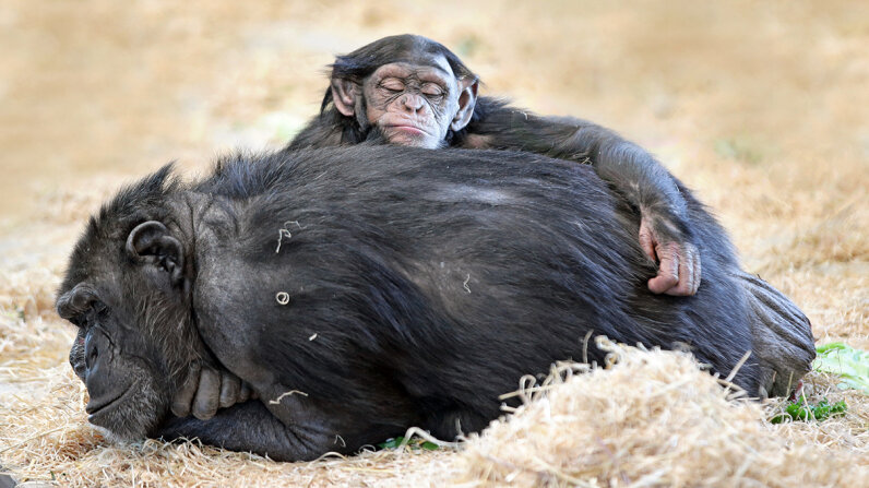 chimpanzee beds