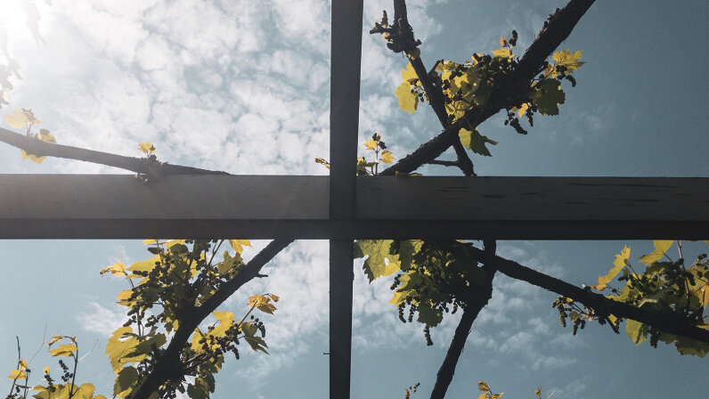 Plants growing on a plant trellis in springtime