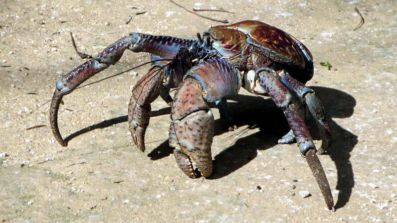 coconut crab, robber crab