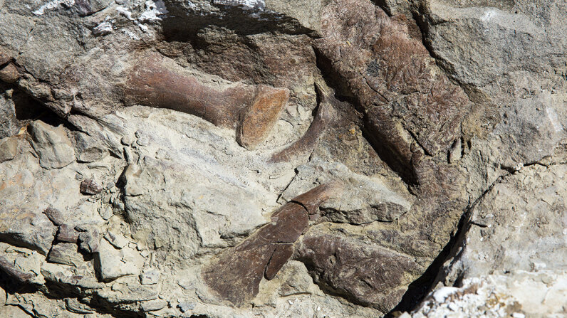 fossilized remains of a tyrannosaur skeleton