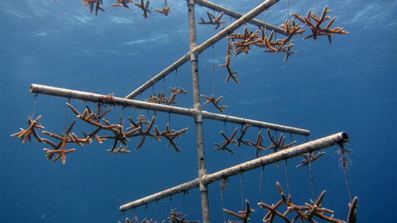 coral, farming