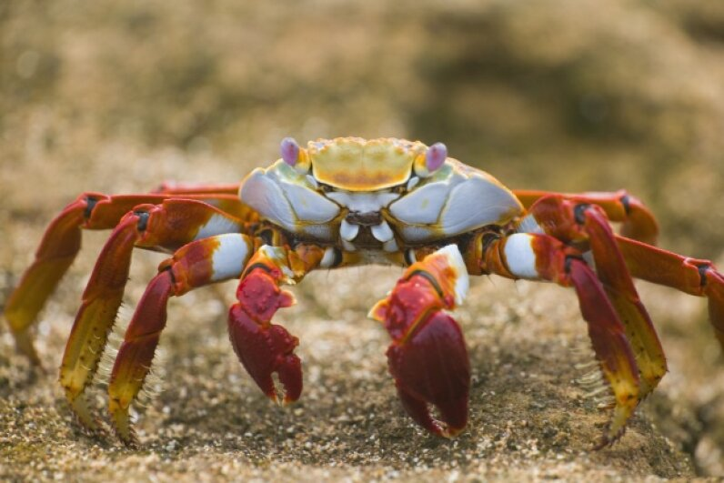 A Sally Lightfoot crab cruises along Ecuador's Bartolome Island. © DLILLC/Corbis