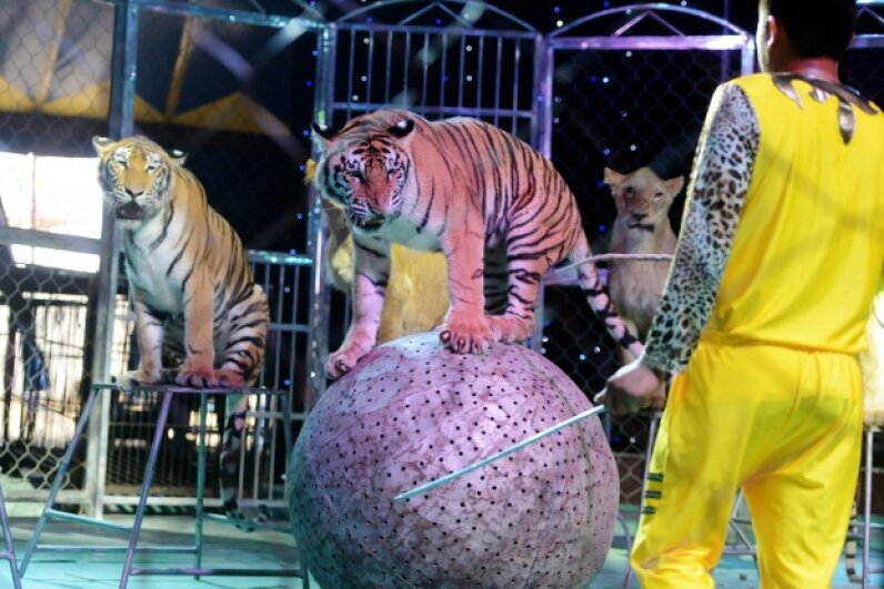 The tigers and lions that perform in circuses may be trained, but they are still dangerous. STR/AFP/Getty Images