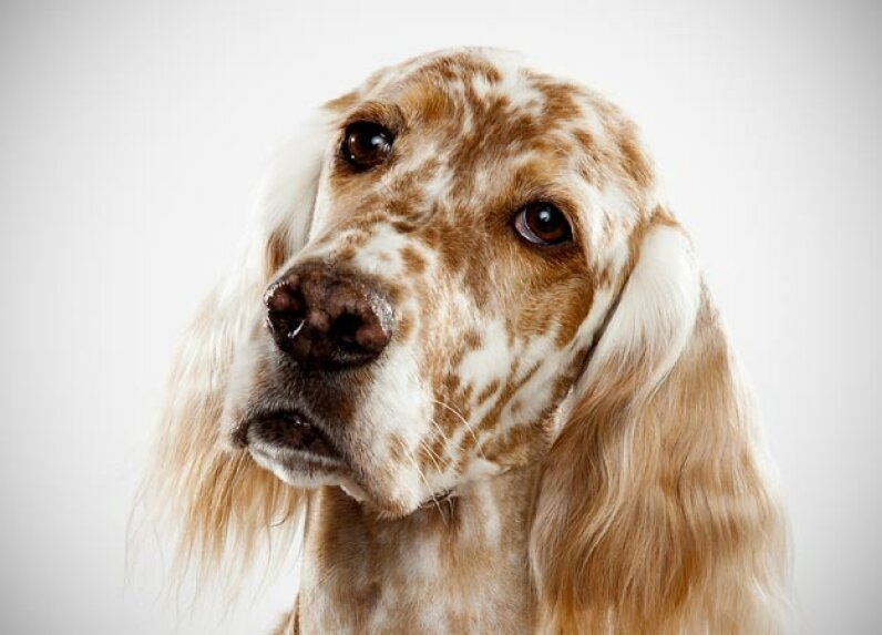 English Setter Bred to cover a lot of area when hunting, the English setter is a lively dog that loves to hunt and run. This is especially true of dogs from field lines. See more in our Dogs image gallery!   Keith Barraclough/DCL