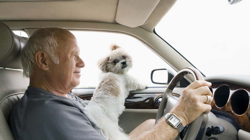 driving with dog on lap
