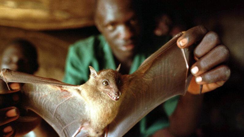 Ebola bats