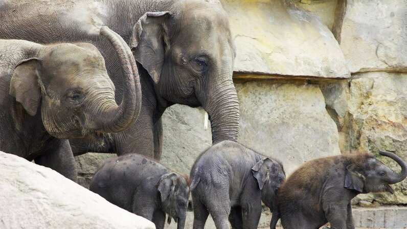 elephants, cancer
