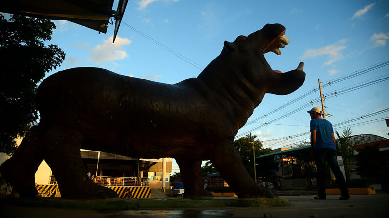 A model hippo in the town of Doradal, Colombia, lets visitors know there's something unique about the wildlife, and it all has to do with notorious drug kingpin Pablo Escobar. Raul Arboleda/AFP/Getty Images