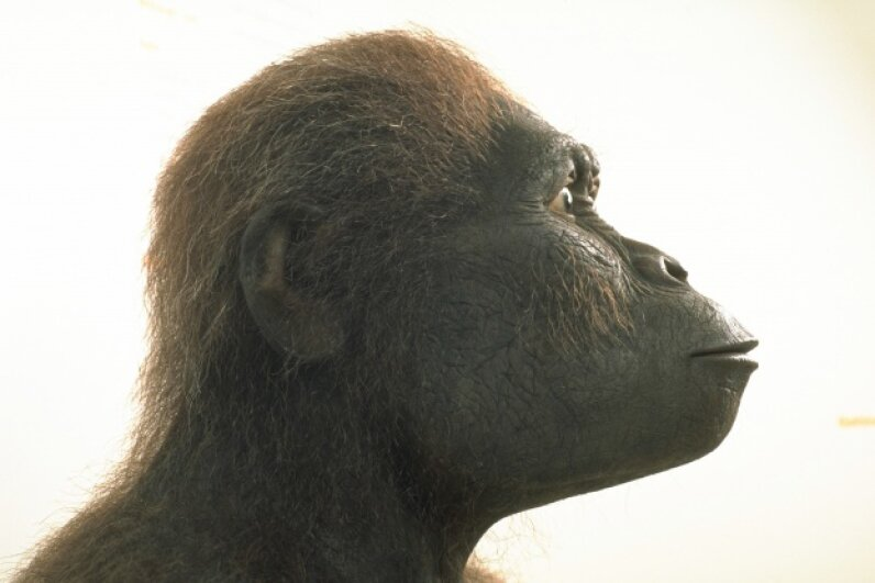 A bigger brain and smaller teeth set this hominid apart from its earlier ancestors. Regis Bossu/Sygma/Corbis