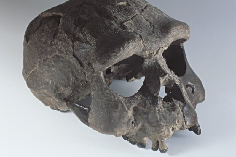 Upright walker Homo erectus had a relatively large brain. A. DAGLI ORTI/De Agostini/Getty Images