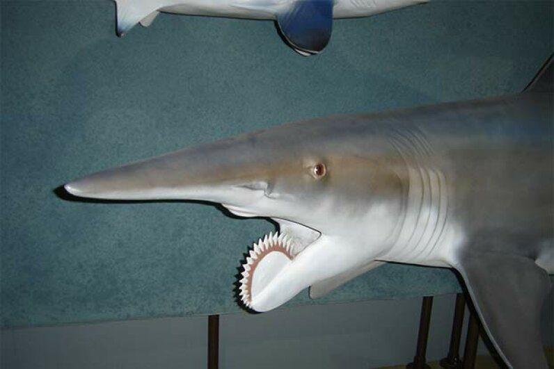 The Helicoprion, with its signature circular saw, was reconstructed for a traveling exhibition in 2006. Scott Heath/Flckr