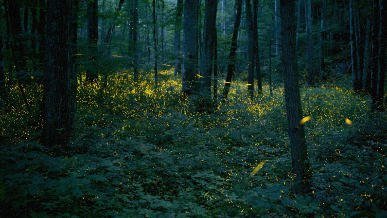 Photinus carolinus, pictured here at Great Smoky Mountains National Park, is the only firefly species in North America that has its choreography together. Floris Van Breugel/Nature Picture Library/Getty Images