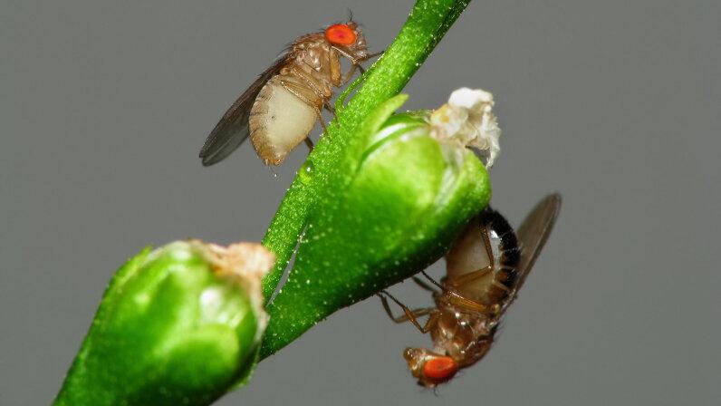 Drosophila flies on carnivorous plant flowers